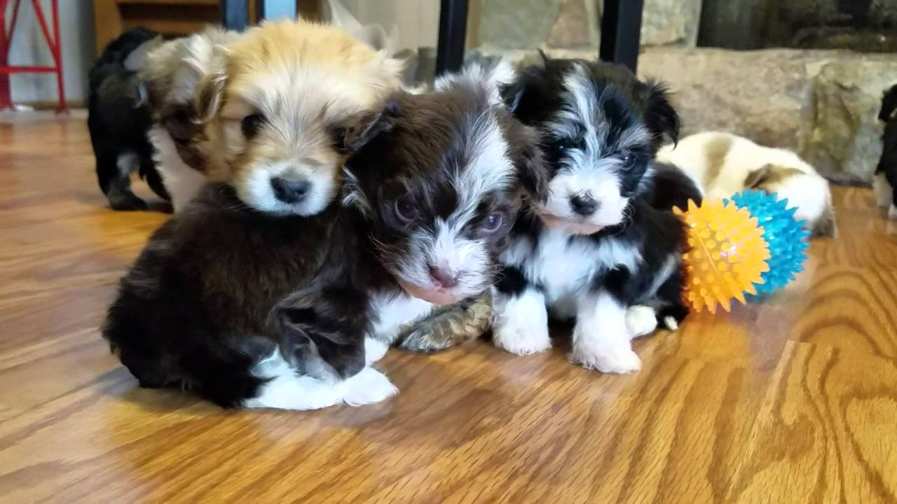 Spring 16 Heavenly Havanese puppies!