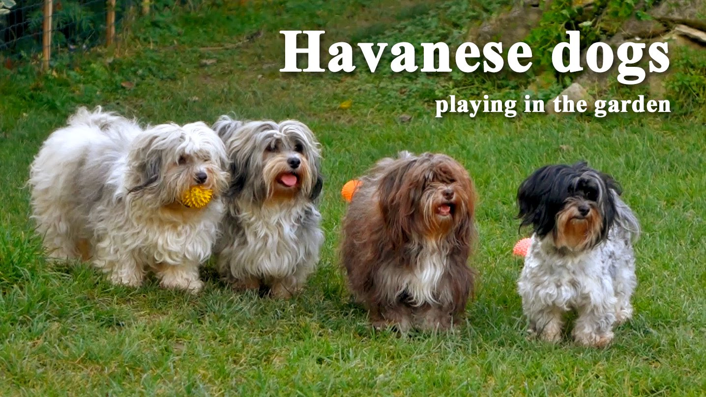 Havanese dogs playing in the garden